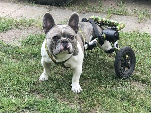 Bulldogge im Hunderollwagen