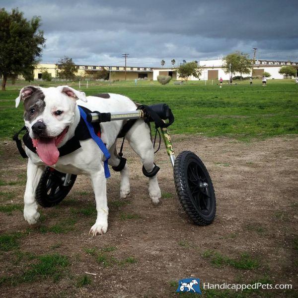 Hund im Hunderollwagen