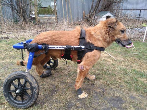 Mietrollwagen Hunde 11-30kg