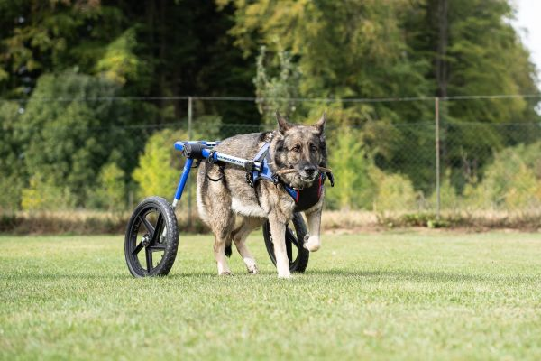 L 15x16 Schäferhund